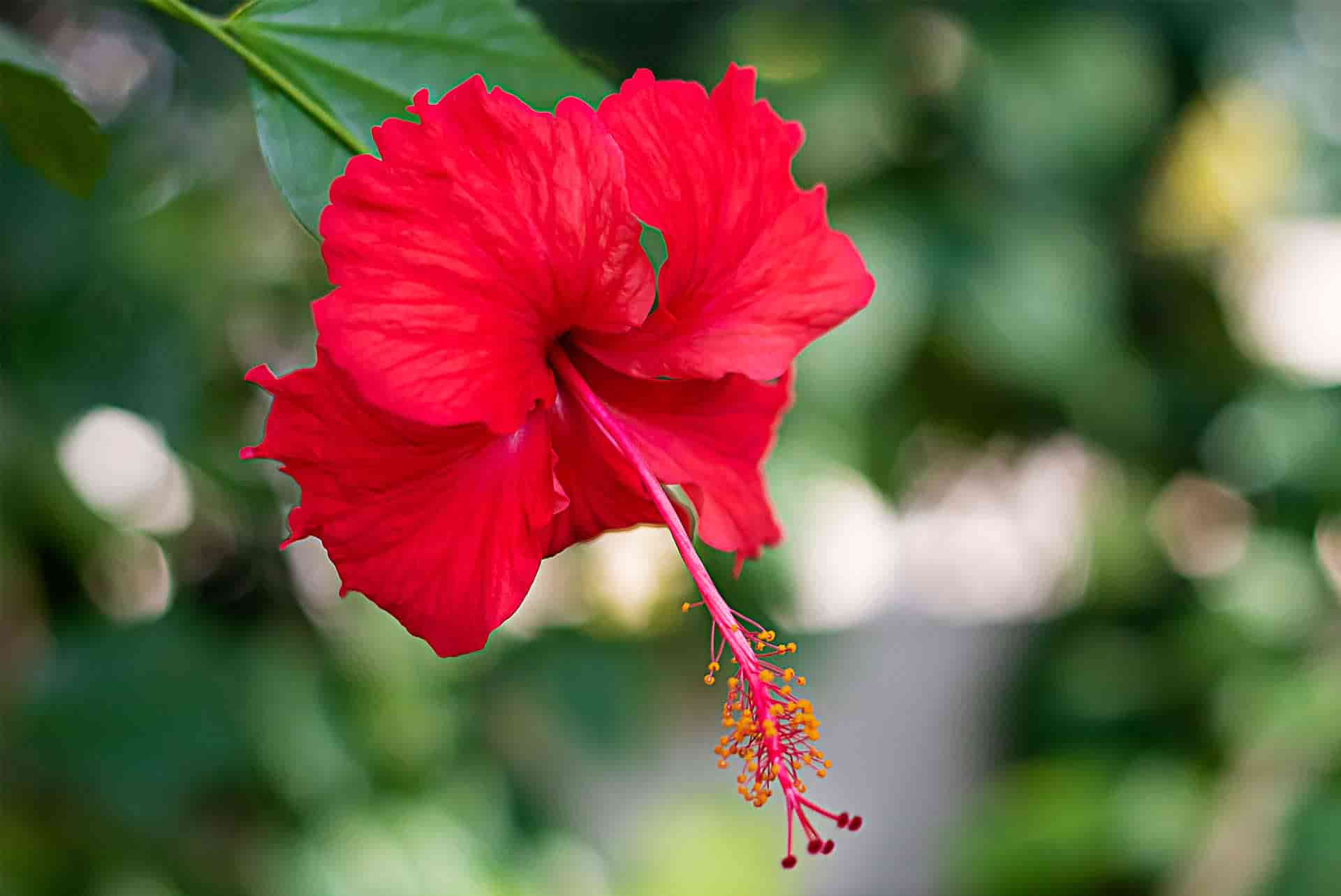 Hibiskus Çiçeğinin Saça Faydaları