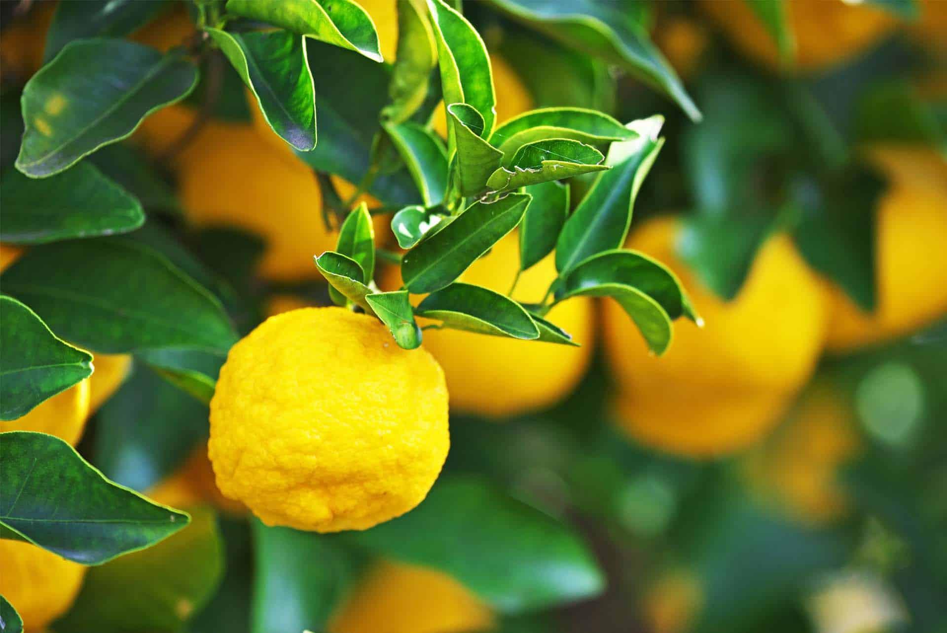 Yuzu Meyvesinin Sağlık Açısından Faydaları Nelerdir?